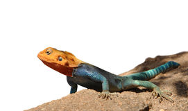 Kenyan Rock Agama close-up picture. A close-up picture of the Kenyan Rock Agama (lat. Agama Lionotus) with isolated background stock photos