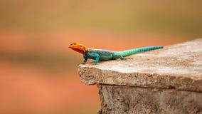 Kenyan Rock Agama Agama lionotus som vilar på stentegelplattan fotografering för bildbyråer