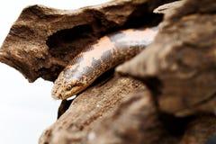 Kenyan Sand Boa Stock Image