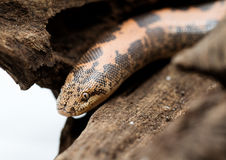 Kenyan Sand Boa Royalty Free Stock Images