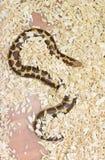 Kenyan sand boa(Eryx colubrinus loveridgei) Stock Images