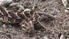 Kenyan viper. A video of a viper slithering on the ground in Kenya stock video footage