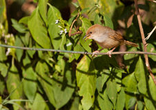 A Kenyan Warbler Bird on a cable Stock Images