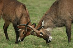 Kenyan wildlife. A photo taken in kenya of two animals fighting Stock Photography