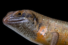 Kenyan zebra skink (Trachylepis dichroma) male Royalty Free Stock Photography