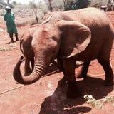 Kenyansk elefant royaltyfria bilder