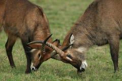 Kenyanwild lebende tiere Stockfotografie