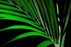 Kenzia leaf. A beautiful isolated kenzia leaf Stock Photo
