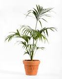 Kenzia Palm Plant on Ordinary Brown Pot Stock Photography