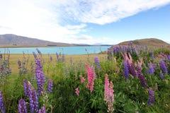 Kepo di tum del lago lupin Fotografia Stock