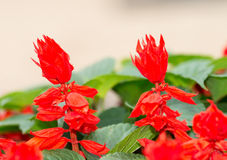 Ker-gawler salvia splendens Stock Photos