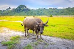 Kerabau-oder Wasser-Büffel Lizenzfreies Stockfoto