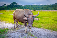 Kerabau-oder Wasser-Büffel Lizenzfreie Stockbilder
