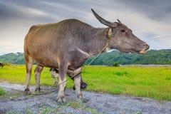 Kerabau-oder Wasser-Büffel Lizenzfreie Stockfotografie