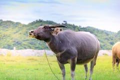 Kerabau-oder Wasser-Büffel Stockfoto