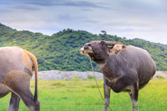 Kerabau-oder Wasser-Büffel Stockbilder
