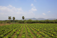 Kerala banana plantation Royalty Free Stock Image