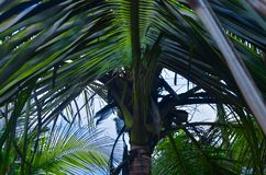 Kerala cocunut tree. Rainy weather coming cocunut tree waiting towards Royalty Free Stock Photo