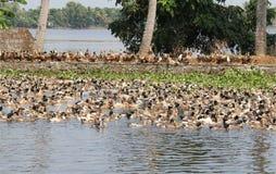 Kerala Goslings Stock Images