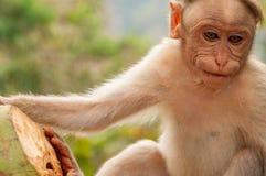Keralan-Makaken, der eine Keralan-Kokosnuss in Indien genießt stockbilder