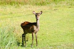 Kerama deer seen on Aka island, Okinawa, Japan royalty free stock images