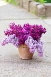 Keramischer Topf mit einer Niederlassung der lila Blume Stockfoto