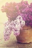 Keramischer Topf mit einer Niederlassung der lila Blume Stockbilder