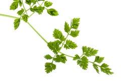 Kerbel-Blätter getrennt Stockfotos