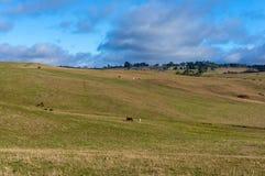 Åkerbrukt vildmarklandskap med lantgårddjur på solig dag Arkivbild