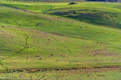 Åkerbrukt vildmarklandskap med lantgårddjur som betar på paddo Fotografering för Bildbyråer
