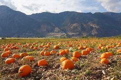 Keremeos Pumpkin Patch Royalty Free Stock Photo