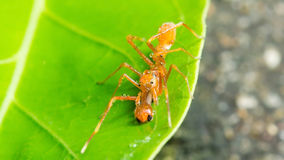 Kerengga ant like jumper. Male ant spider in asia. (Kerengga ant like jumper Stock Image