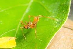 Kerengga ant like jumper Royalty Free Stock Image