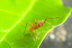 Kerengga ant like jumper Stock Photography