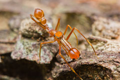 Kerengga ant-like jumper spider Stock Images