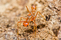 Kerengga ant-like jumper spider Stock Image