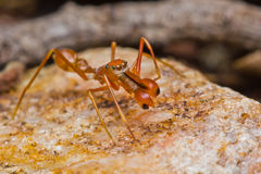 Kerengga ant-like jumper spider Stock Photos
