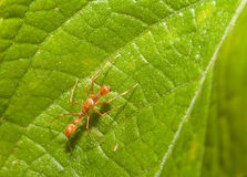 Kerengga ant-like jumper spider Stock Photography