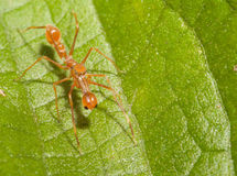 Kerengga ant-like jumper spider Stock Photos