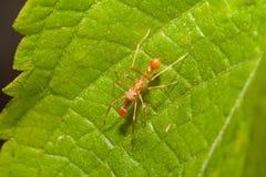 Kerengga ant-like jumper spider Royalty Free Stock Image