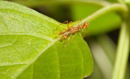 Kerengga ant-like jumper spider Stock Photo