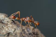 Kerengga mier-als verbindingsdraad royalty-vrije stock afbeelding
