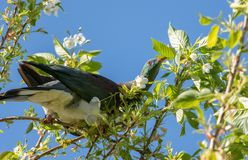 Kereru, голубь Новой Зеландии Стоковая Фотография RF