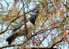 Kereru in a Kowhai Tree Stock Images