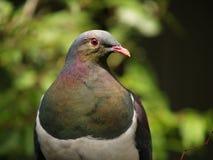 Kereru NZ Drewniany gołąb Fotografia Stock