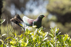 Kereru Stock Photo