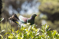 Kereru Stock Photos