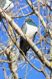 Kereru in Winter Garden Stock Images