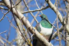 Kereru in Winter Garden Stock Image