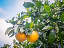 Kerikeri navel oranges on citrus tree with flowers in orchard in royalty free stock photos